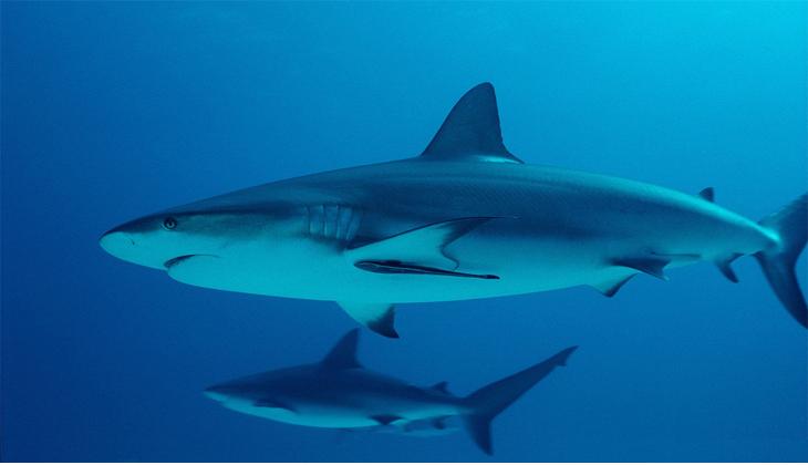 Mazuri 5MD8鲨鱼/鳐营养片